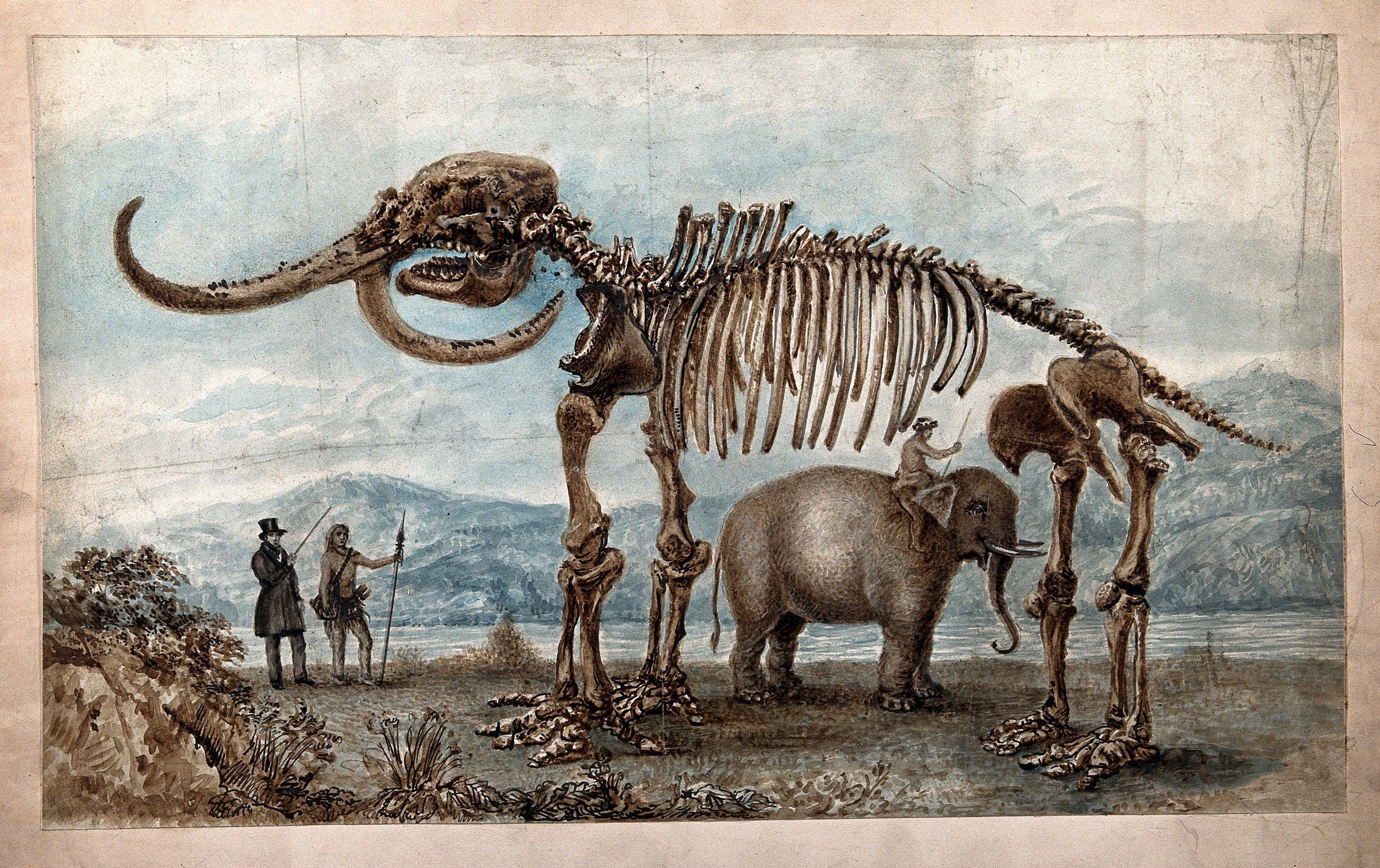 Skeleton of the Missouri Leviathan: the skeleton is shown