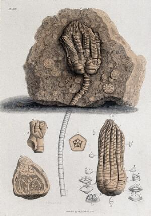view Geology: fossil remains in stone. Coloured engraving.