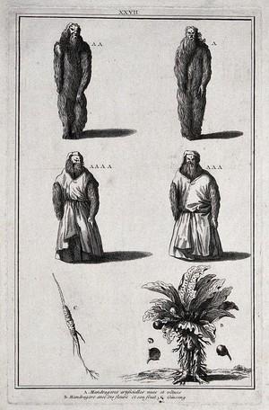 view Mandrake roots in human form; the mandrake plant; ginseng. Engraving.