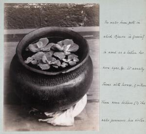 view Ojuoro plant growing in a native pot. Photograph, c. 1911.