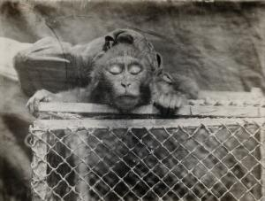 view The Pasteur Institute, Kasauli, India: a caged monkey with drooping eyes (ptosis) due to rabies. Photograph, ca. 1910.