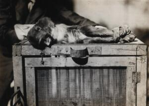 view The Pasteur Institute, Kasauli, India: a monkey with rabies, following inoculation. Photograph, ca. 1910.