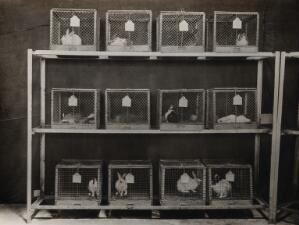 view The Pasteur Institute, Kasauli, India: production of the rabies vaccine: caged rabbits showing symptoms of rabies after inoculation. Photograph, ca. 1910.