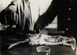 view The Pasteur Institute, Kasauli, India: production of the rabies vaccine: inserting a swab on a wire into the spinal canal of a dissected rabbit, previously infected with rabies. Photograph, ca. 1910.
