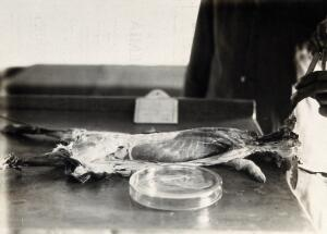 view The Pasteur Institute, Kasauli, India: production of the rabies vaccine: removing the brain of a dissected rabbit, previously infected with rabies, to place in the prepared petri dish. Photograph, ca. 1910.