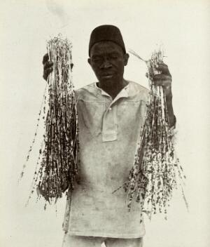view Sticky wires for catching flies at the meat and fish market, prepared in Zanzibar, held up by an African man. Photograph, ca. 1911.
