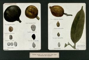 view Leprosy: fruits from which chaulmoogra oil (used to treat leprosy) is derived. Watercolour by E. Schwarz-Lenoir, 1921/1950 (?), after (a painting ?) by Ernest Muir, ca. 1921.