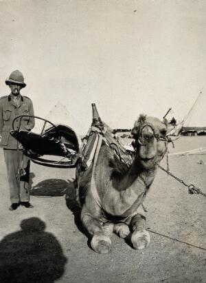 view A kneeling camel, with a cacolet attached to its back, used to transport injured soldiers during World War I: a western military man is shown standing beside the camel, with desert tents seen pitched in the background. Photograph copied from a print by Dr. Balfour, 1916.