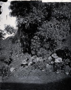 view Foliage, Hong Kong. Photograph, 1981, from a negative by John Thomson, 1868/1871.