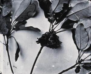 view Still life of leaves and flowers, Hong Kong. Photograph, 1981, from a negative by John Thomson, 1868/1871.