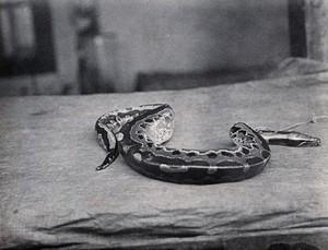 view Sarawak: a Malaysian short python (Python curtus). Photograph.