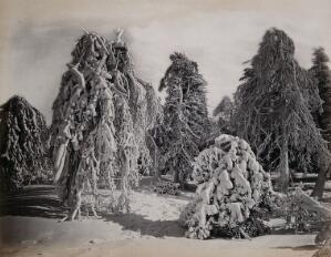 view Lima Island, Canada (?): snow-covered trees. Photograph by Francis Frith, ca. 1880.