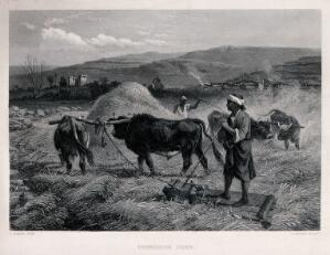 view A man with yoked oxen is threshing the corn. Engraving by C. Cousen after R. Beavis.