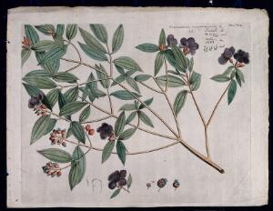 view Singapore rhododendron (Melastoma malabathricum L.): branch with flowers and fruit, flowering shoot and floral segments. Coloured line engraving.