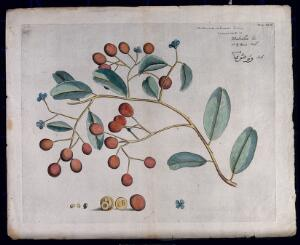 view A species of Sapotaceae: branch with flowers and fruit, separate flower and sections of fruit and seeds. Coloured line engraving.