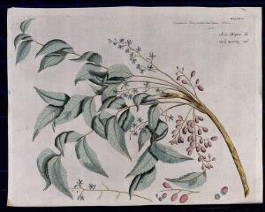 view Margosa (Azadirachta indica A. Juss.): branch with flowers and fruit, separate clusters of flowers and fruits and sections of fruit. Coloured line engraving.