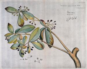 view A plant (Ardisia solanacea): branch with flowers and fruit and separate flowers, fruit and seeds. Coloured line engraving.