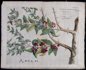 view A plant (Canthium parviflorum) related to Ceylon boxwood: branch with flowers and fruits, separate flowers, fruit and sectioned fruit with seed. Coloured line engraving.