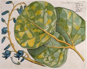 view Bastard Teak or Flame of the Forest (Butea monosperma (Lam.) Kuntze): leaf cluster, inflorescence and dissected flower. Coloured line engraving.
