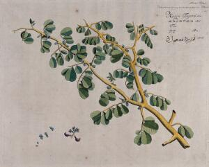 view East Indian or Malabar Kino (Pterocarpus marsupium Roxb.): branch with flowers, separate shoot bearing flowers and fruit and sections of flowers. Coloured line engraving.