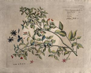 view Jasmine (Jasminum angustifolium Willd.): branch with flowers and fruit and separate inflorescence, flower and fruits. Coloured line engraving.