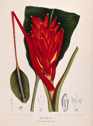 view Banana (Musa coccinea Andr.): fruiting shoot with leaf and numbered sections of flowers. Chromolithograph by P. Depannemaeker, c.1885, after B. Hoola van Nooten.