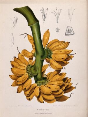 view Plantain banana (Musa paradisiaca L.): fruiting branch with sections of flowers and fruit. Chromolithograph by P. Depannemaeker, c.1885, after B. Hoola van Nooten.