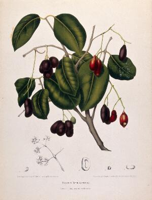 view Jambolan or Java plum (Eugenia jambolana Lam.): fruiting branch with numbered figures of inflorescence and sectioned flower, fruit and seed. Chromolithograph by P. Depannemaeker, c.1885, after B. Hoola van Nooten.