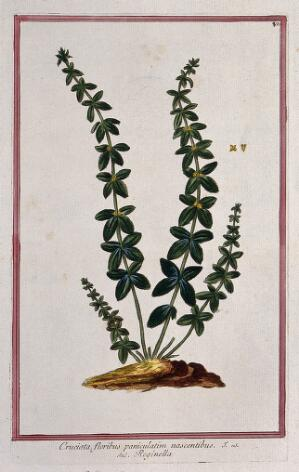 view Crosswort (Galium cruciata (L.) Scop.): flowering stems arising from earth mound with separate flower sections. Coloured etching by M. Bouchard, 1772.