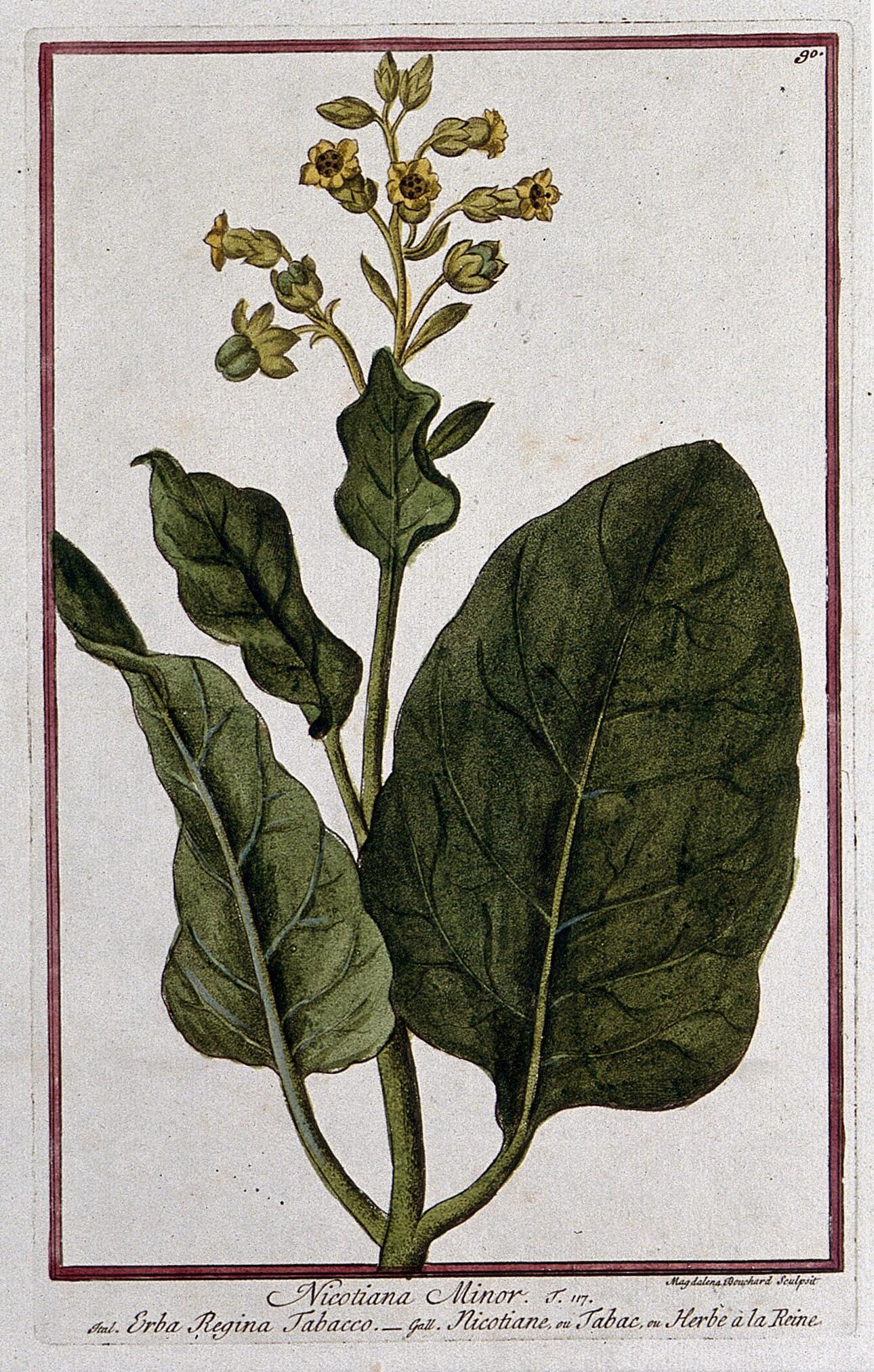 Smoking tobacco (Nicotiana tabacum L ): flowering and