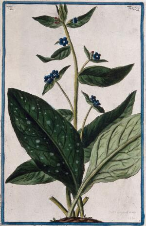 view Bugloss (a species of the genus Anchusa L.): flowering stem and separate leaves arising from earth mound. Coloured etching by M. Bouchard, 1774.