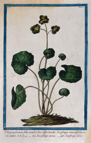 view A species of the genus Chrysosplenium: flowering plant in earth mound. Coloured etching by M. Bouchard, 1774.