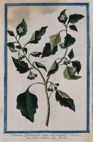 view Black nightshade (Solanum nigrum L.): flowering and fruiting stem. Coloured etching by M. Bouchard, 1774.