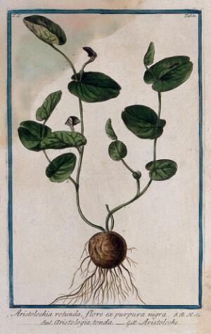 view A plant (Aristolochia rotunda L.) related to birthwort: entire flowering plant. Coloured etching by M. Bouchard, 1774.