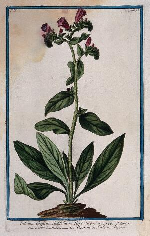view A plant (Echium sp.): flowering plant rising from earth mound. Coloured etching by M. Bouchard, 1774.