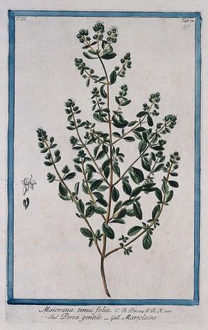 view Sweet marjoram (Origanum majorana L.): flowering stem with separate floral segments. Coloured etching by M. Bouchard, 1775.