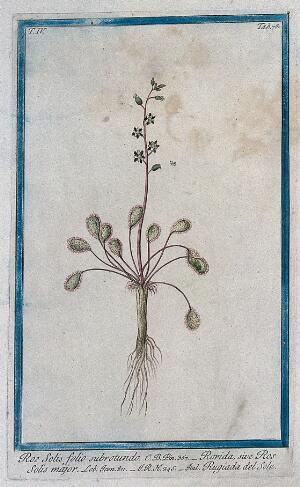 view Sundew (Drosera sp.): entire flowering and fruiting plant with seeds. Coloured etching by M. Bouchard, 177-.