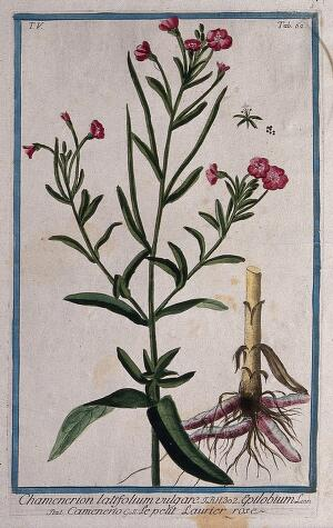 view Willow-herb (Epilobium sp.): flowering stem with separate rootstock, floral segment and seed. Coloured etching by M. Bouchard, 1778.