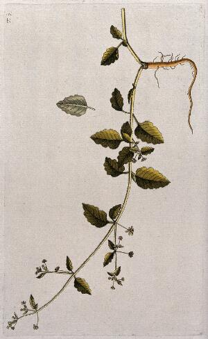 view Boerhavia hirsuta L.: flowering and fruiting stem with root and separate leaf. Coloured engraving after F. von Scheidl, 1770.