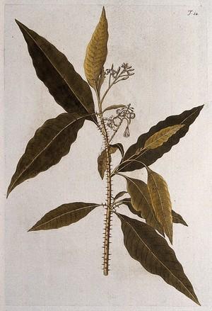 view A plant (Solanum igneum L.): flowering stem. Coloured engraving after F. von Scheidl, 1770.