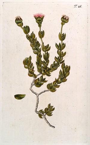 view A species of the genus Mesembryanthemum: flowering stem with separate leaf. Coloured engraving after F. von Scheidl, 1770.