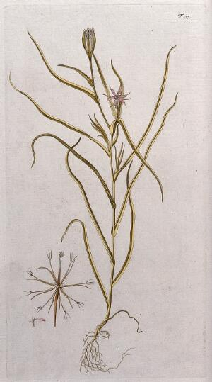 view A plant (Tragopogon sp.): entire flowering and fruiting plant with separate flower and fruit. Coloured engraving after F. von Scheidl, 1770.