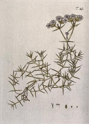 view Drypis spinosa L.: flowering stem with separate flower, fruit and seed. Coloured engraving after F. von Scheidl, 1770.