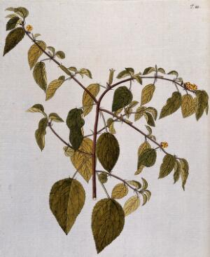 view A plant (Corchorus trilocularis L.) related to jute: flowering and fruiting stem. Coloured engraving after F. von Scheidl, 1770.