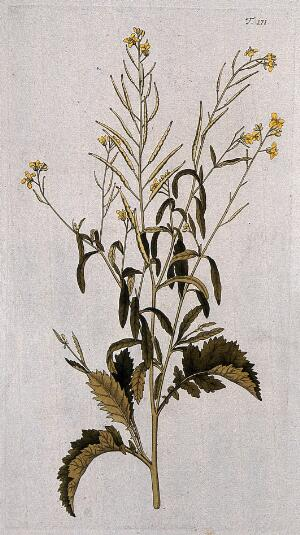 view Indian mustard or rai (Brassica juncea (L.) Czerniak.): flowering and fruiting stem. Coloured engraving after F. von Scheidl, 1772.