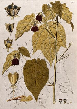 view Ambroma augusta (L.) L.f.: flowering stem with separate fruit, sections of flower and fruit and uncoloured leaf. Coloured engraving after F. von Scheidl, 1776.
