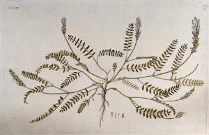 view Goat's-thorn (Astragalus sp.): entire flowering and fruiting plant with separate floral segments. Coloured engraving after F. von Scheidl, 1776.