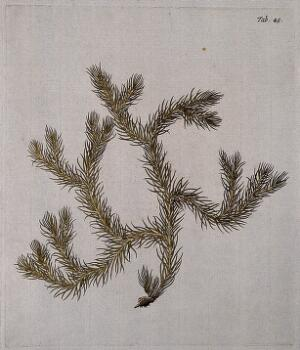 view Clubmoss (Lycopodium dichotomum): fertile stem. Coloured engraving after F. von Scheidl, 1776.