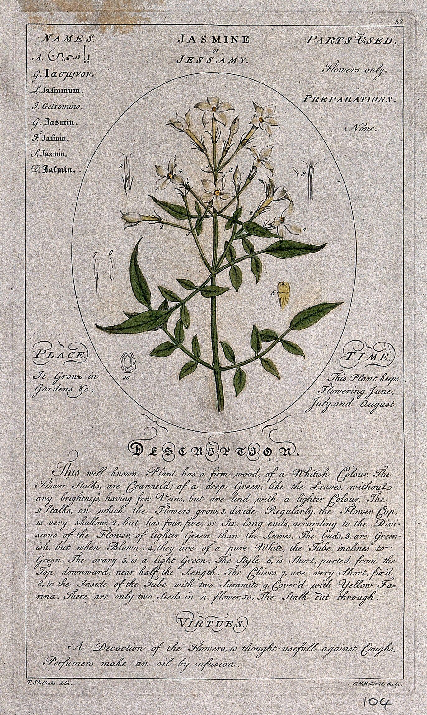 Jasmine jasminum officinale l flowering stem with floral download izmirmasajfo