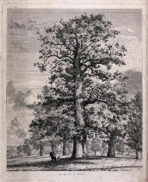 view A tall oak tree (Quercus robur L.) sheltering a horse in Fredville Park. Etching after J.G.Strutt, 1824.